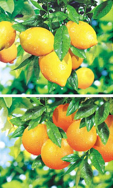 Zitrusfrüchte am Baum
