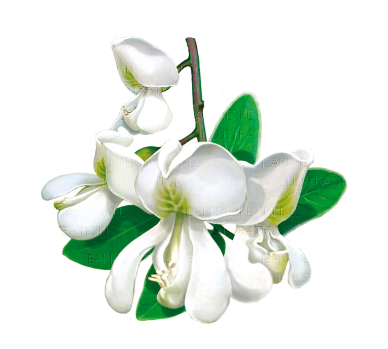 Akazienblüten