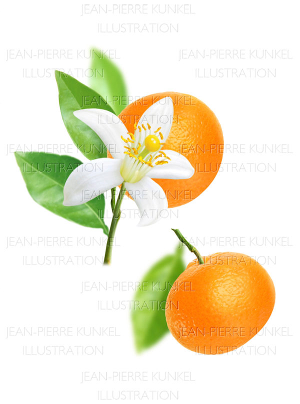 Citrus Illustration 2